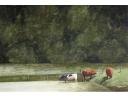 Frank Zindler, koeien in het water, aquarel, 64x48cm