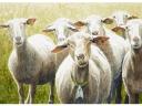 Frank Zindler, zeven schapen, aquarel, 64x48cm
